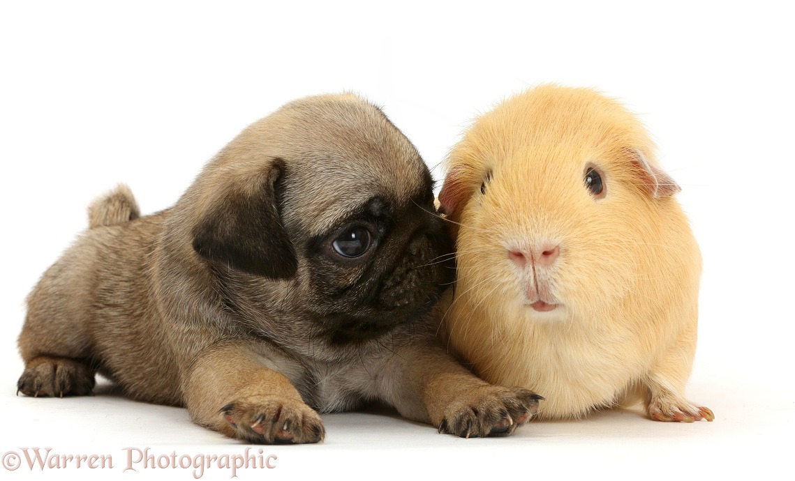 Pug puppy yellow Guinea pig, white background