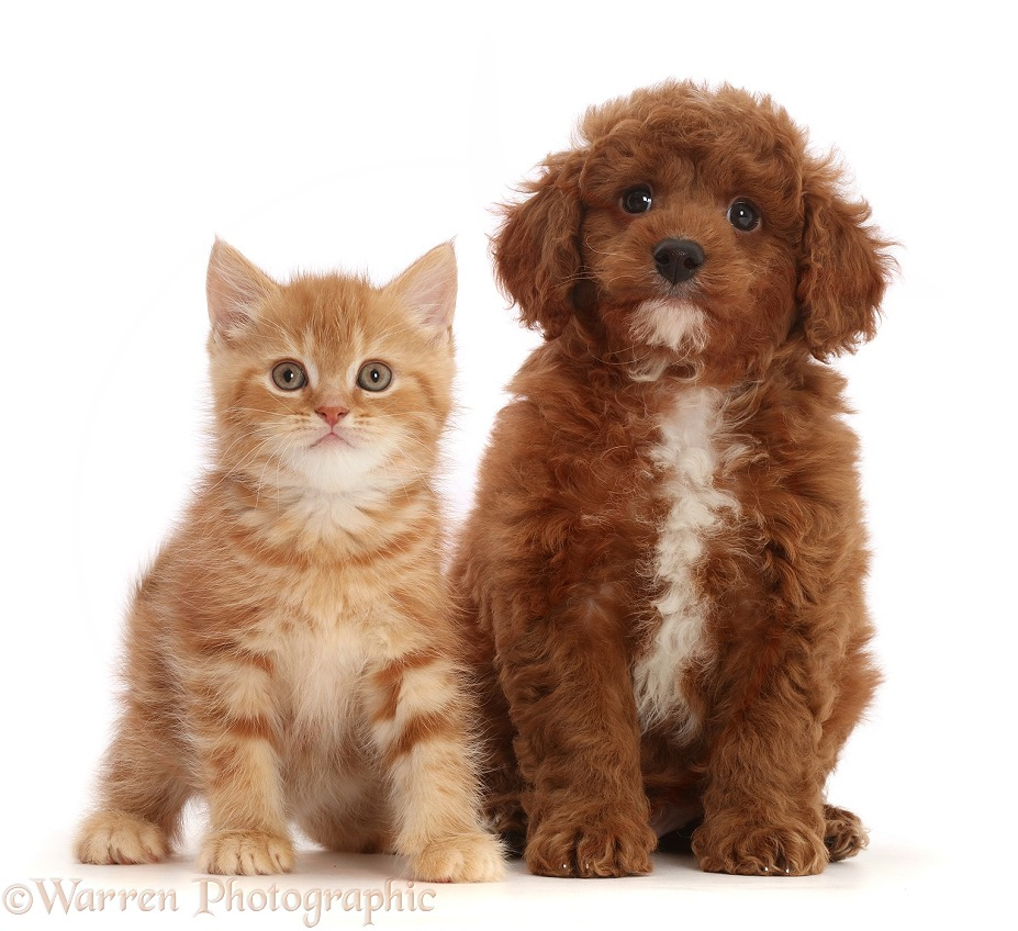 Ginger kitten and Cavapoo puppy, white background