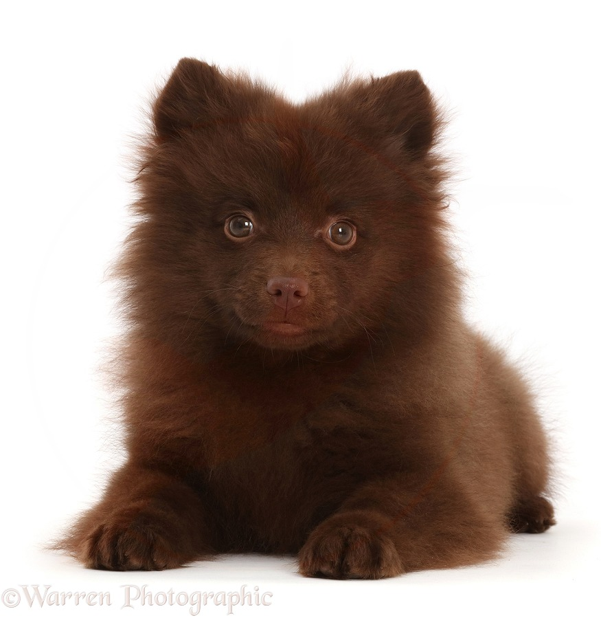 Chocolate brown Pomeranian puppy lying head up, white background