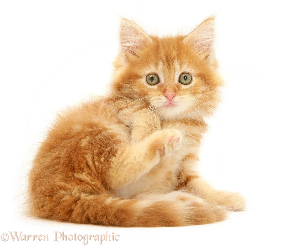 Ginger Maine Coon kitten lounging, white background