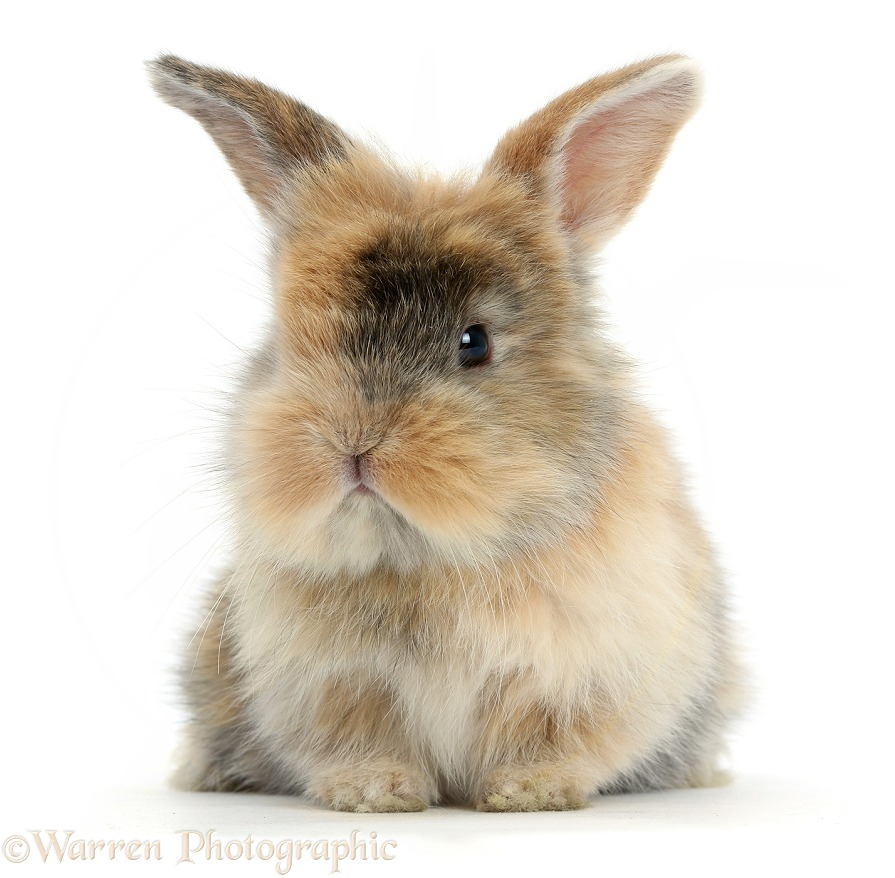 Cute baby bunny, white background