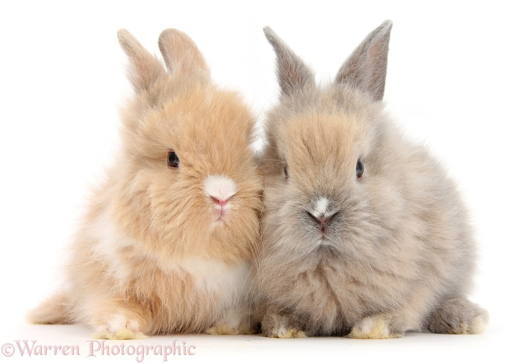 Two cute baby Lionhead bunnies sitting together, white background