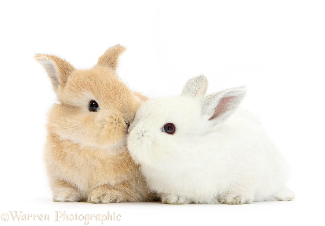 White and sandy baby bunnies kissing, white background