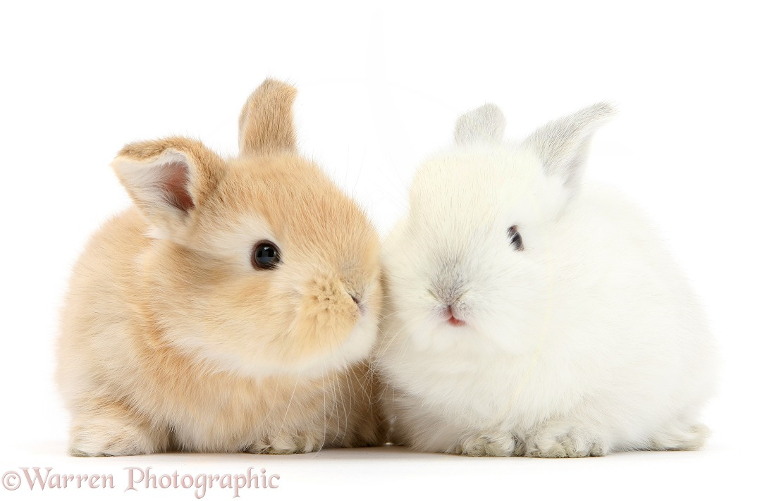 White and sandy baby bunnies, white background