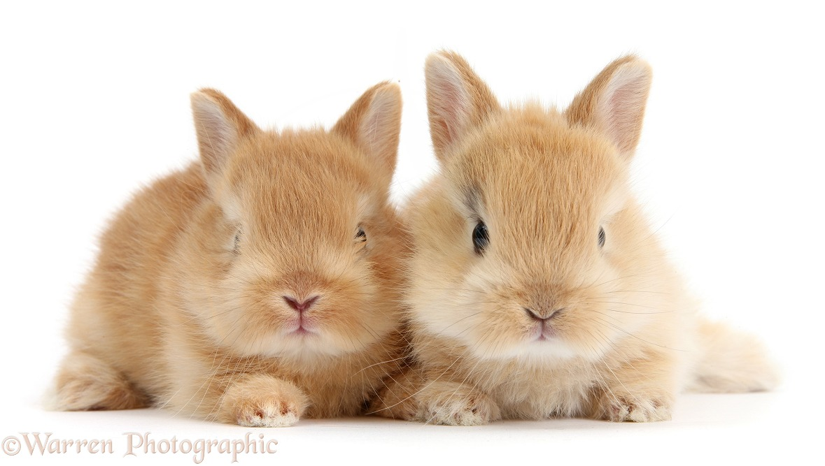 Two cute baby sandy Netherland Dwarf rabbits, white background