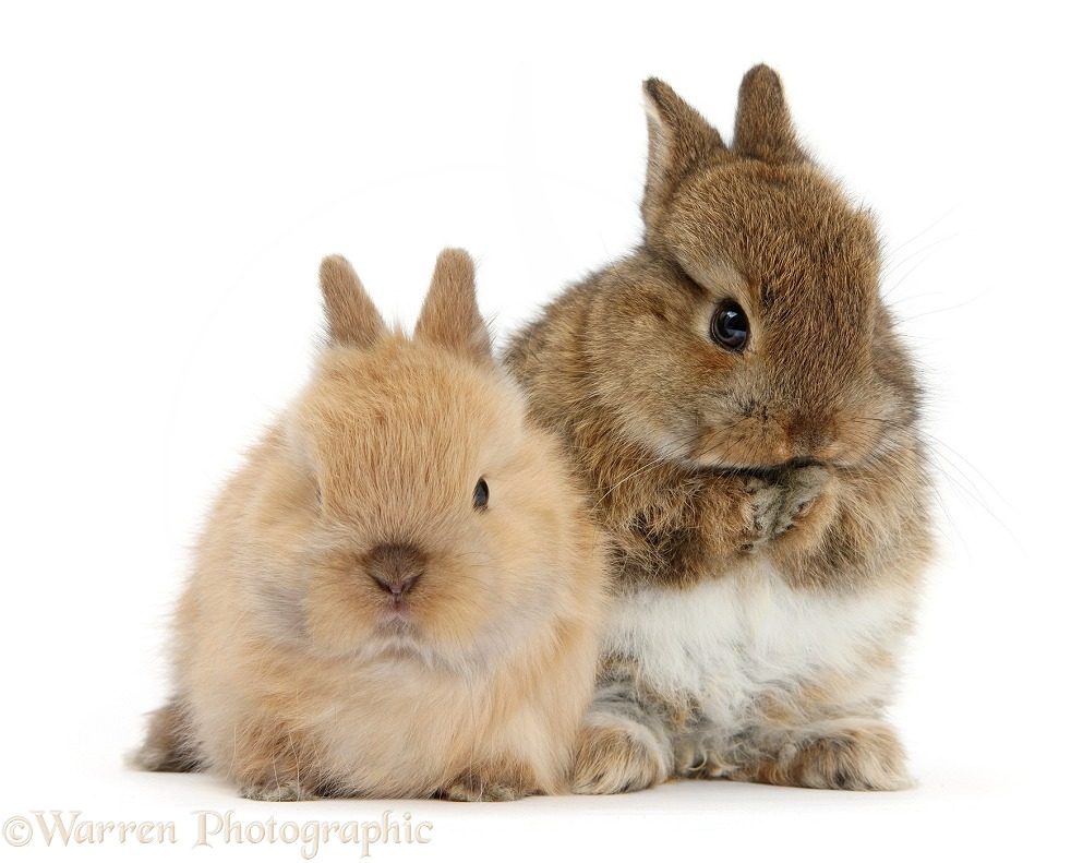 Two cute baby Netherland Dwarf bunnies, one washing, white background