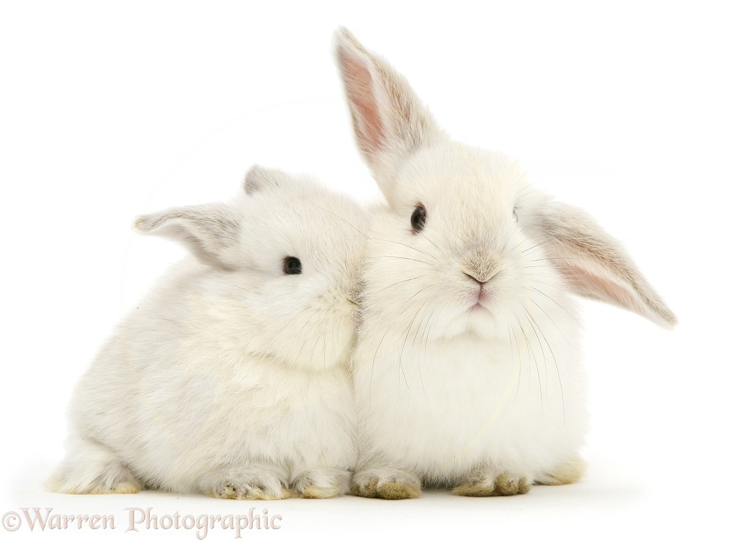 Two baby white rabbits, white background
