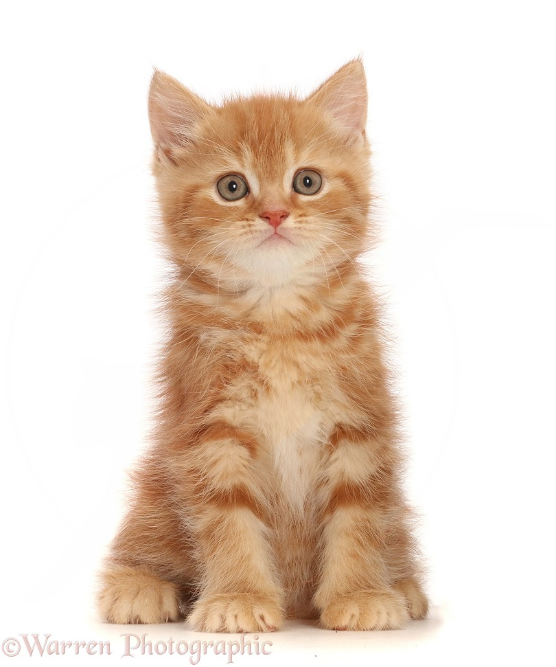 Sweet little ginger kitten, white background