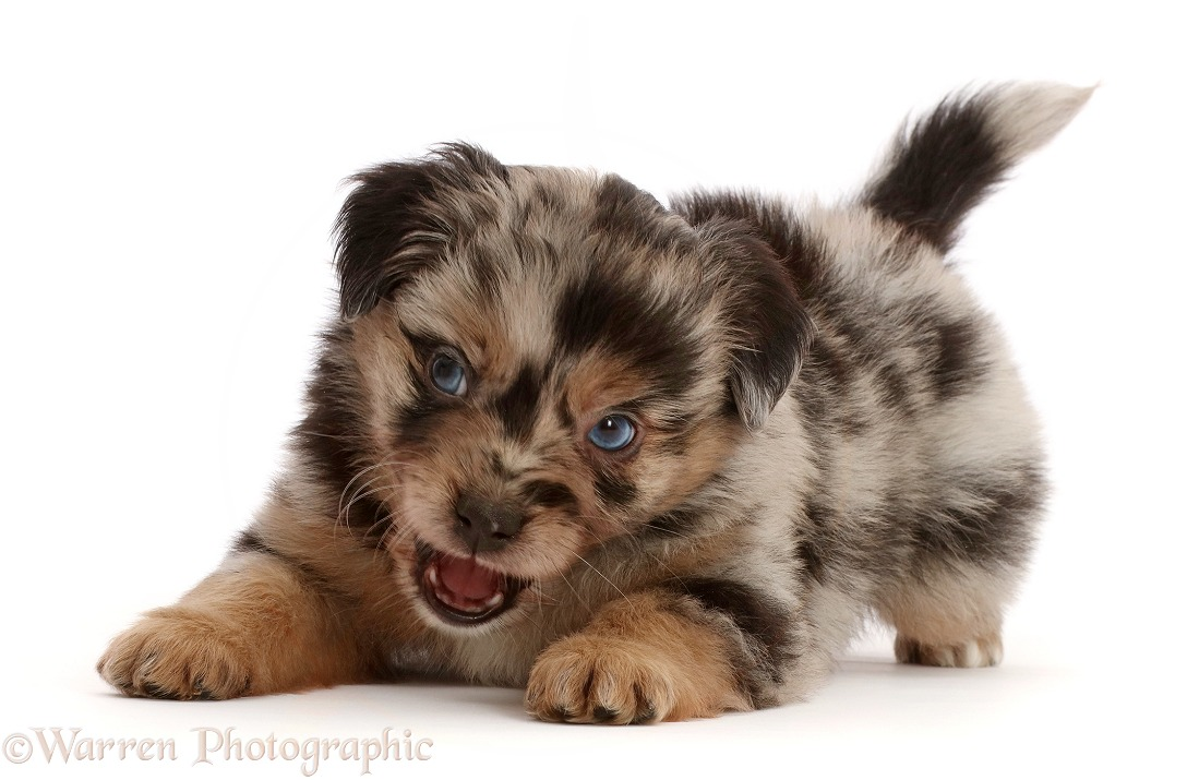 Playful Mini American Shepherd puppy, 5 weeks old, snapping, white background