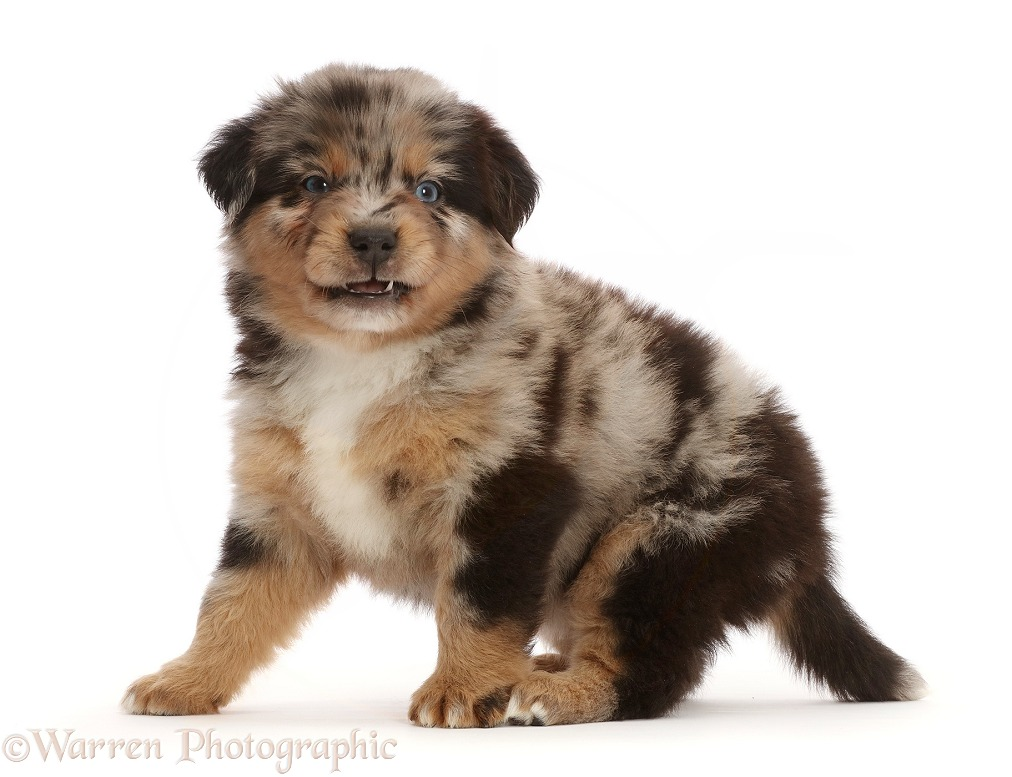 Mini American Shepherd puppy, 5 weeks old, making a funny face, white background