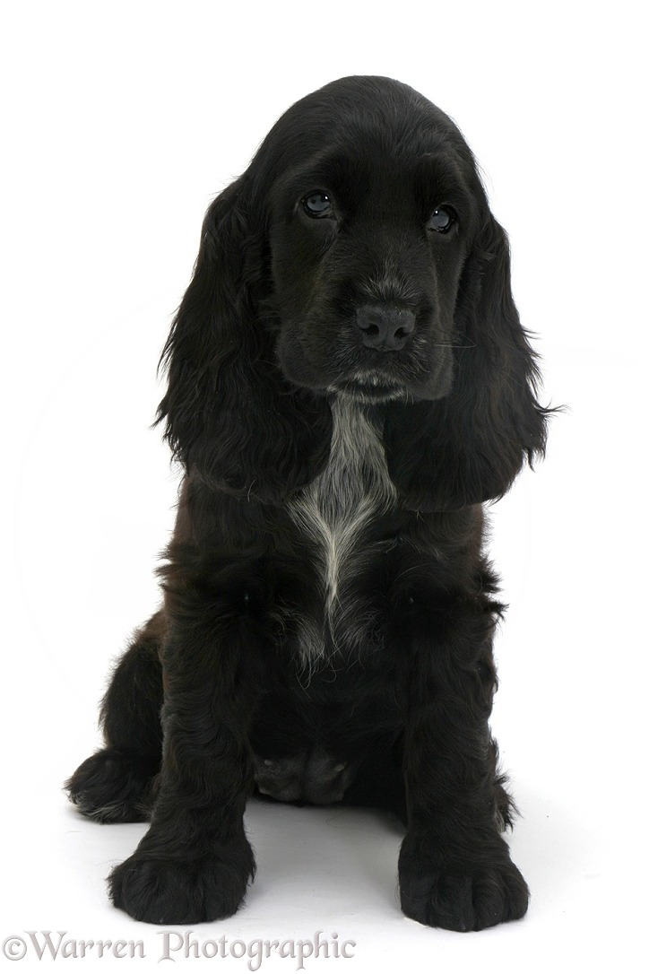 Black Cocker Spaniel pup, white background