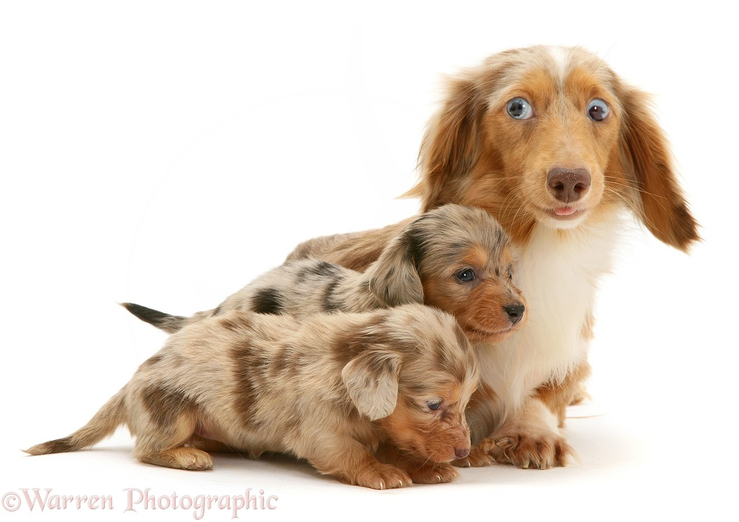 Silver dapple miniature Dachshund puppies with their mother, white background