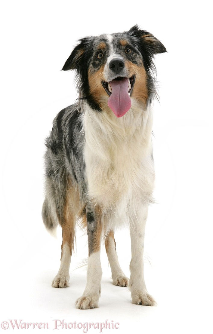 Merle Border Collie bitch standing and panting, white background