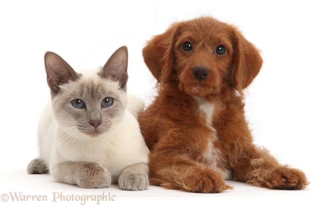 Blue-point Birman-cross cat and red Goldendoodle puppy, white background