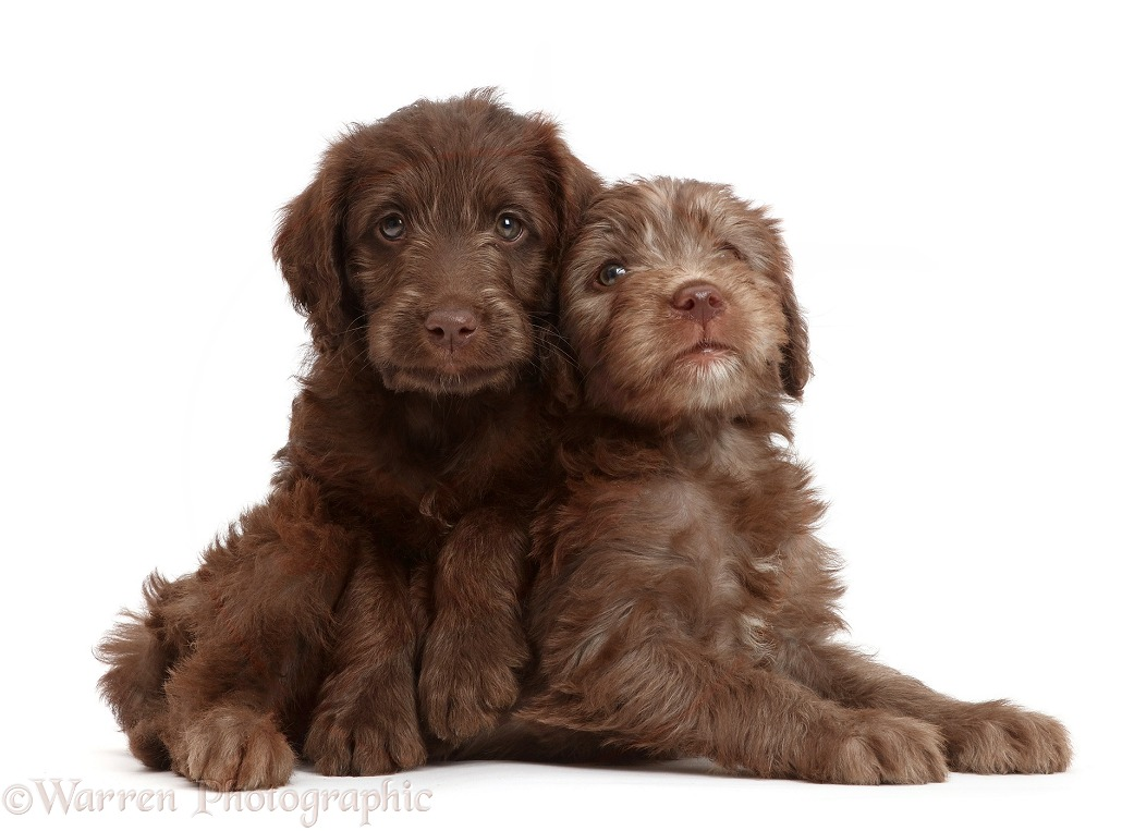 Chocolate Labradoodle puppies, white background