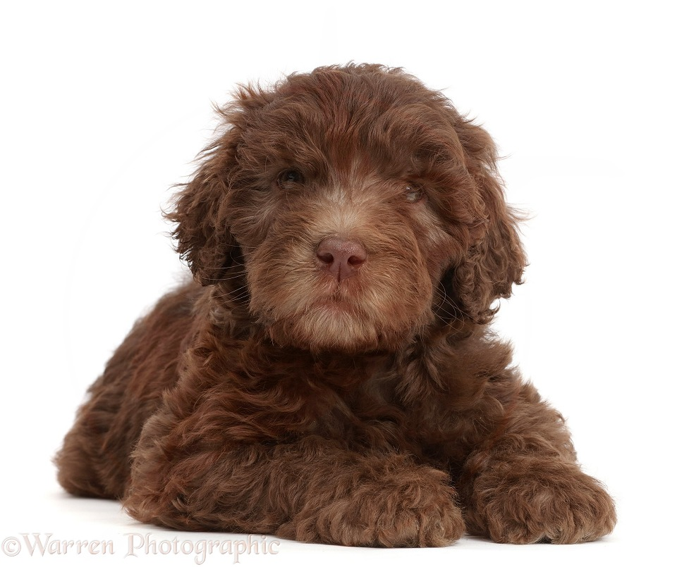 Chocolate Labradoodle puppy, white background