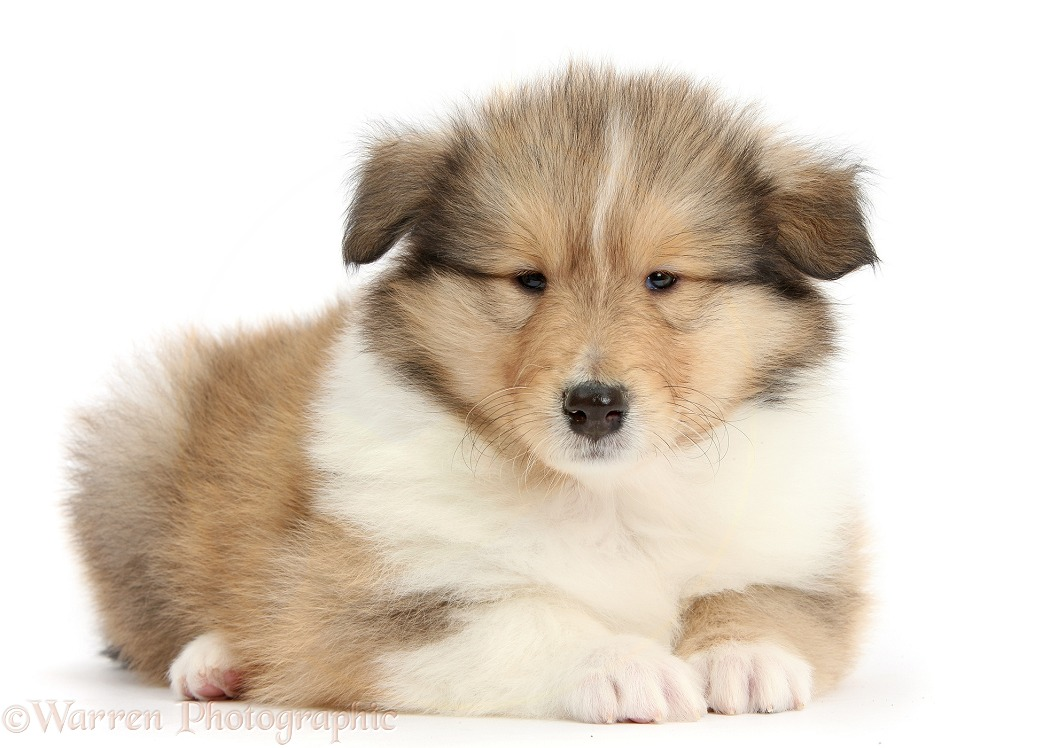 Sable Rough Collie puppy, 7 weeks old, white background