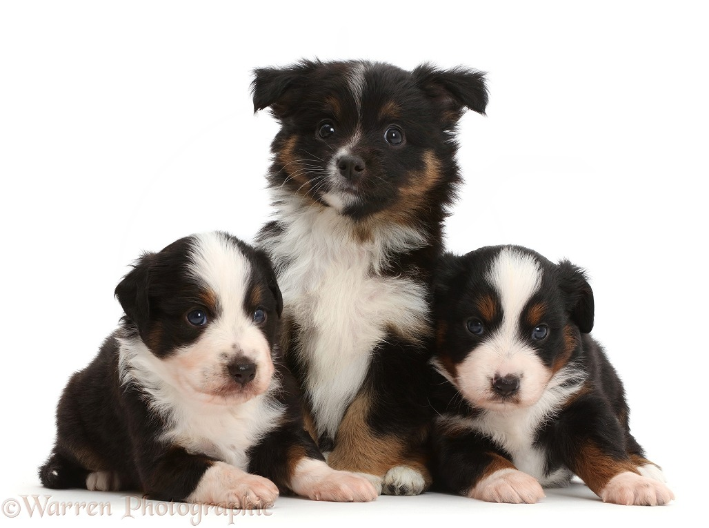 Three Mini American Shepherd puppies of different ages, white background