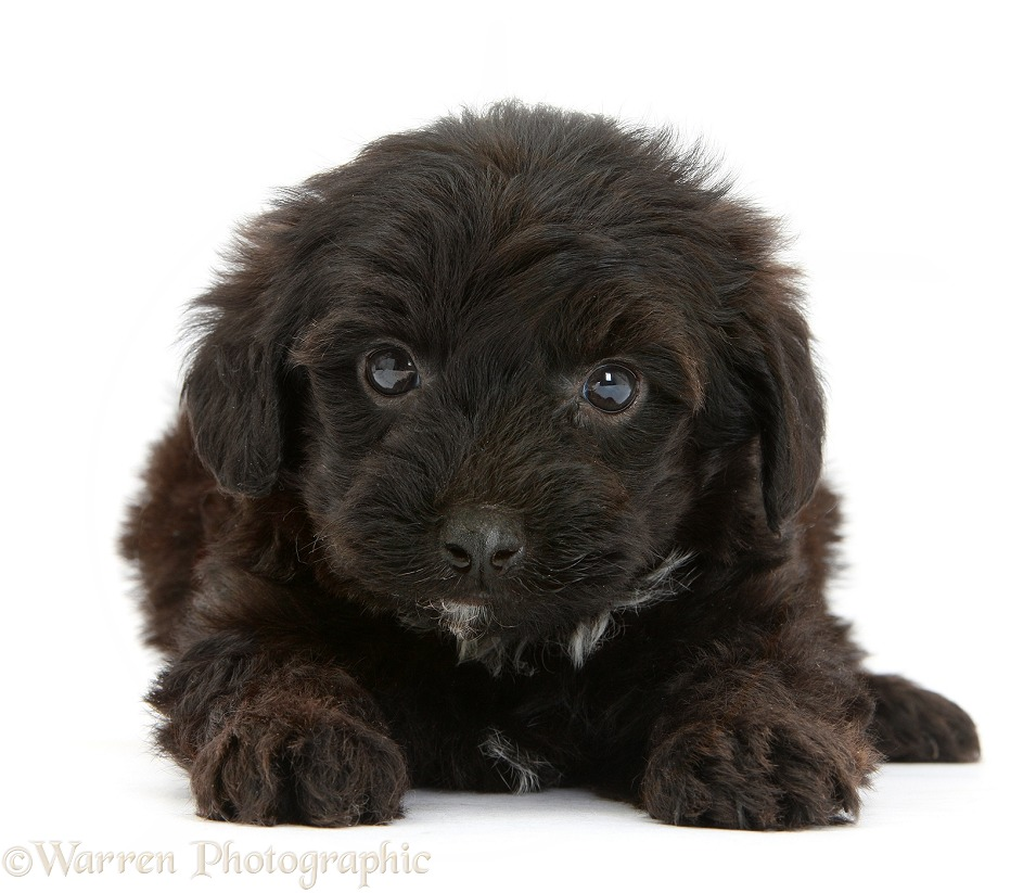 Black Yorkipoo pup, 6 weeks old, white background