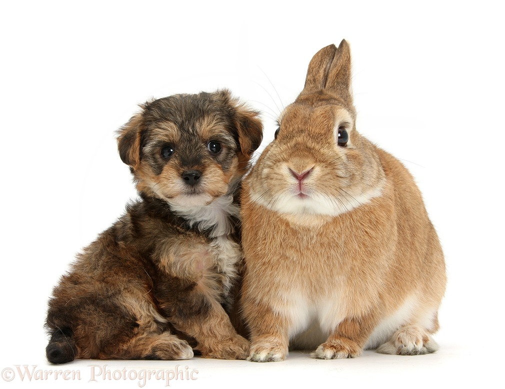 Yorkipoo pup, 6 weeks old, with sandy Netherland Dwarf rabbit, Peter, white background
