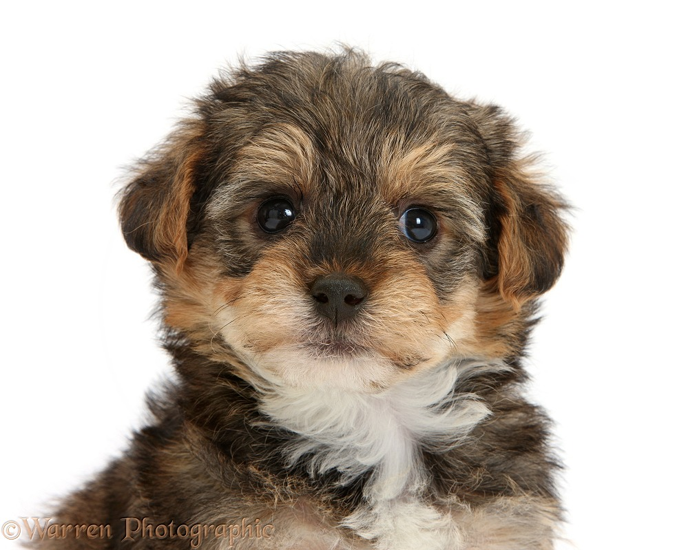 Yorkipoo pup, 6 weeks old, white background