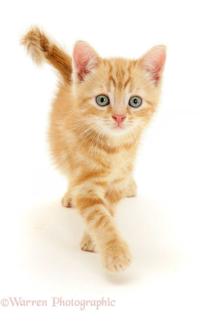 Ginger kitten, Benedict, walking, white background