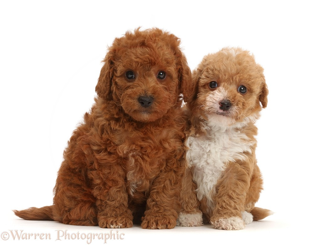 F1b toy goldendoodle puppies sitting, white background