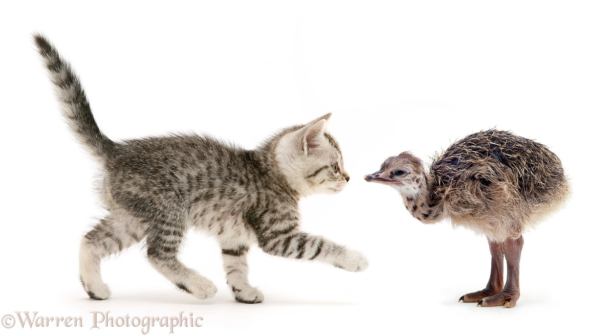 Silver spotted shorthair kitten and Ostrich (Struthio camelus) chick, white background
