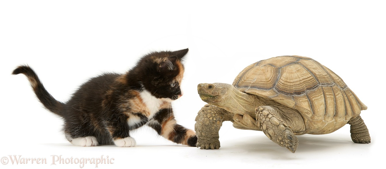 African Giant Tortoise (Testudo sulcata) and Tortoiseshell kitten, white background