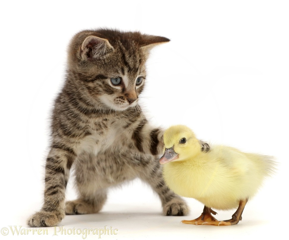 Tabby kitten looking and pawing at yellow duckling, white background