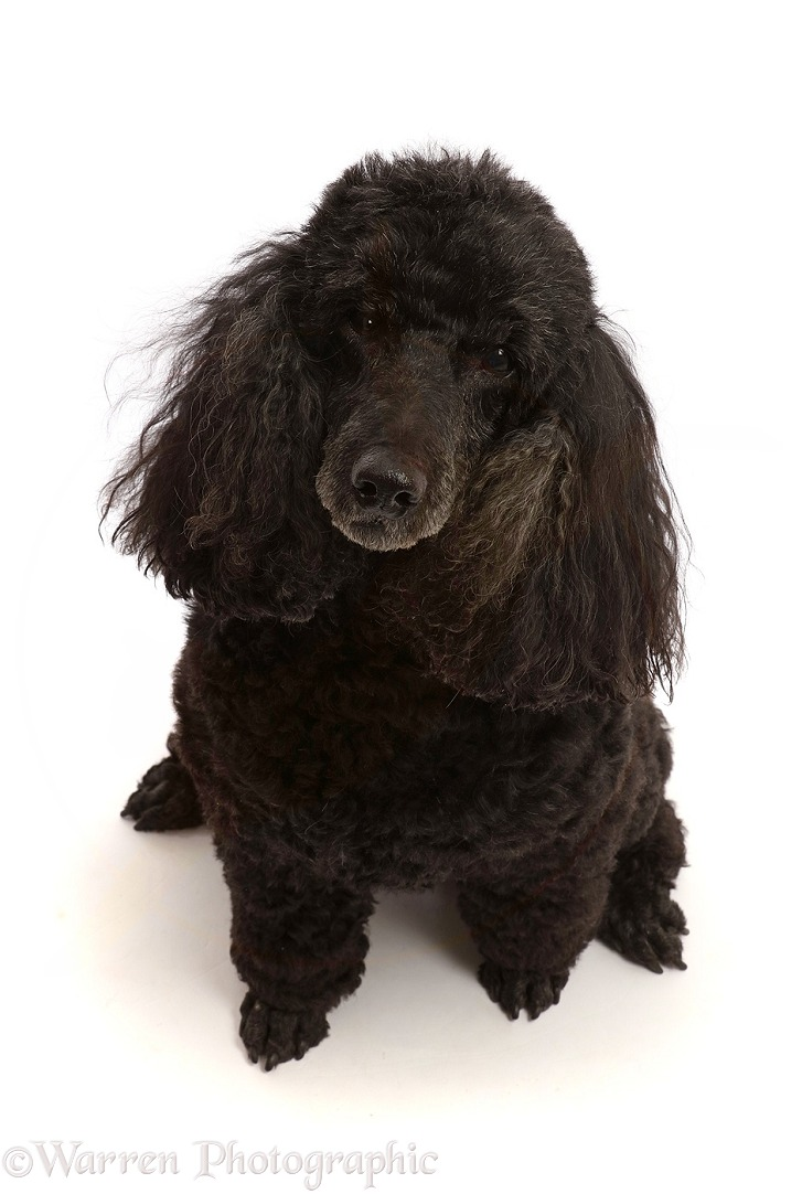 Black Poodle, 9 years old, sitting and looking up, white background
