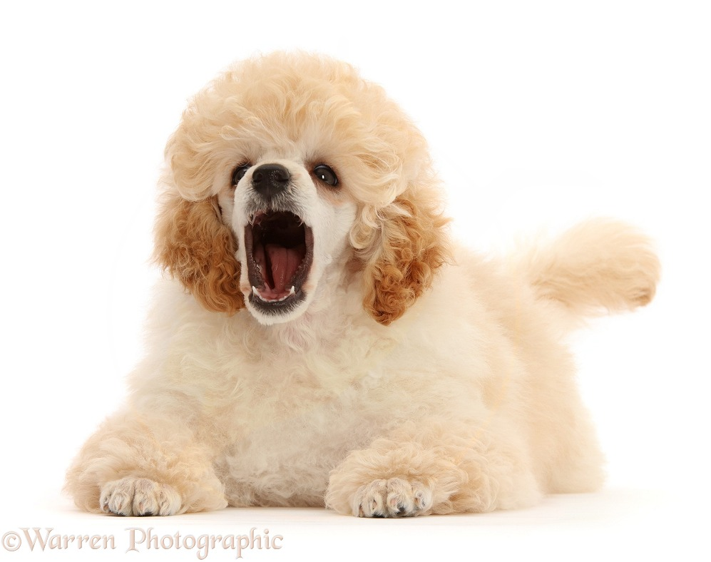 Toy Poodle puppy, 13 weeks old, yawning, white background