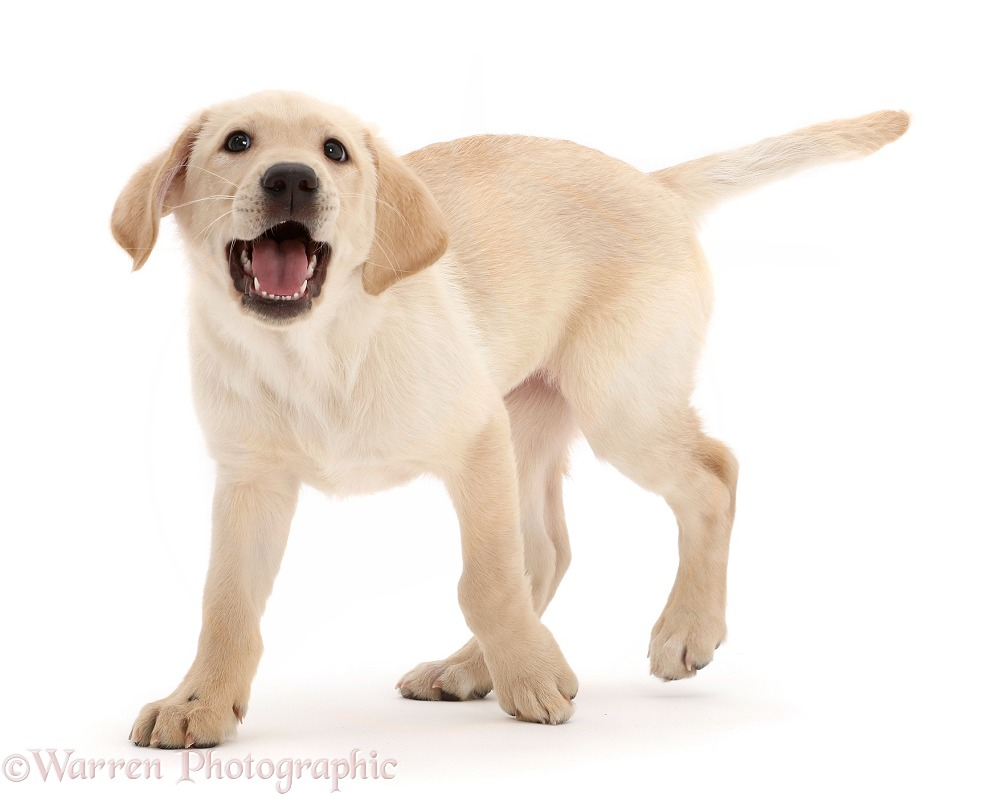 Yellow Labrador Retriever puppy, 9 weeks old, walking, white background