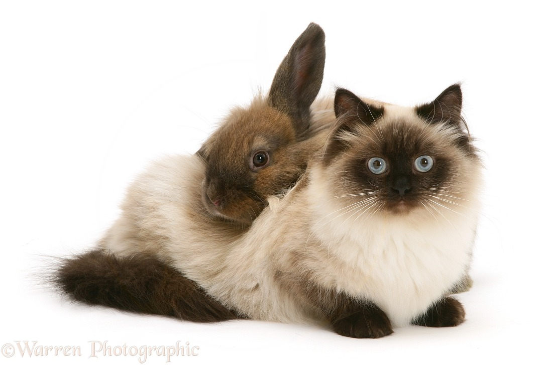 Young Birman-cross cat with Dwarf Lionhead x Lop rabbit, white background