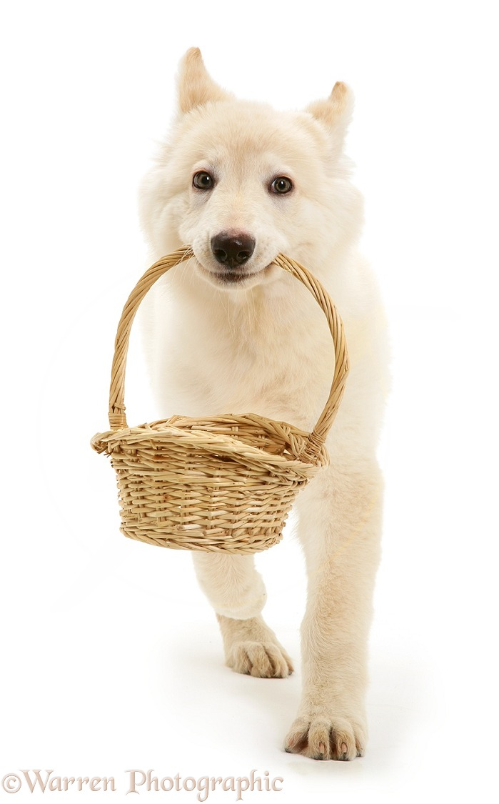 White German Shepherd Dog puppy carrying a basket, white background
