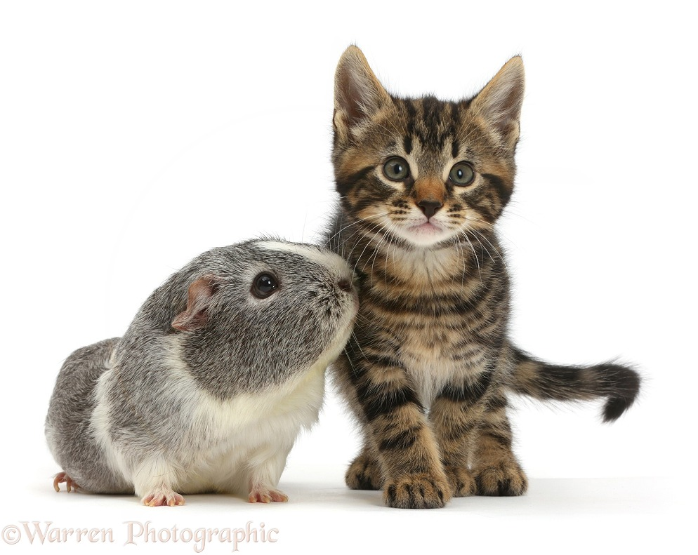 Tabby kitten, Smudge, 8 weeks old, and Guinea pig, white background