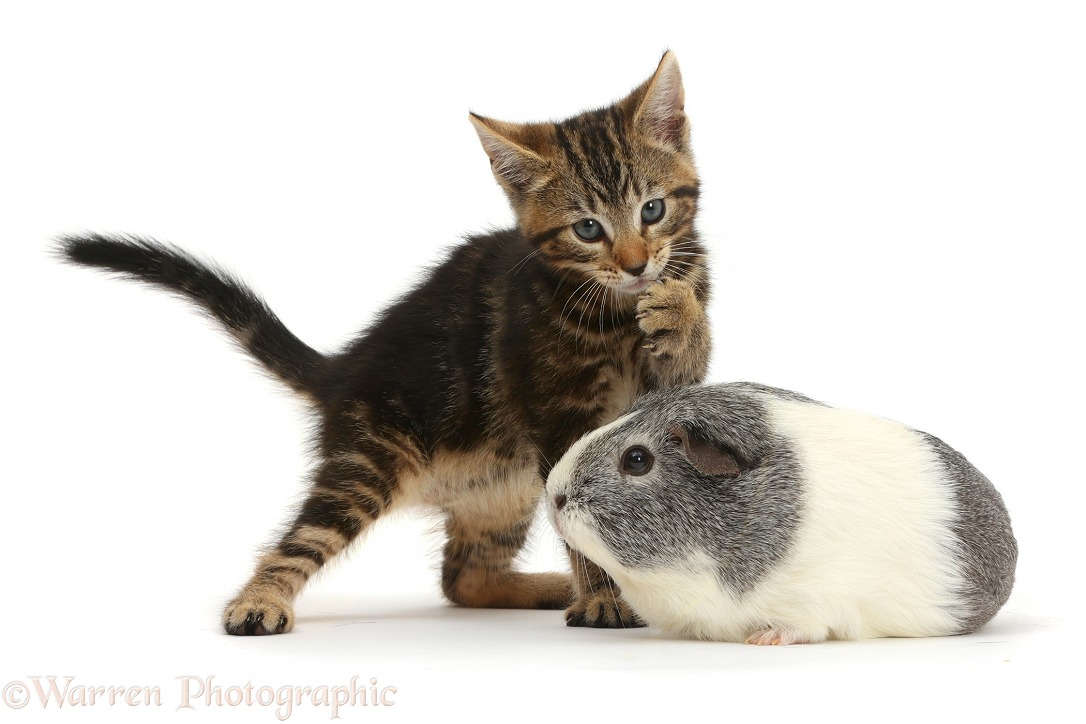 Tabby kitten, Picasso, 8 weeks old, and Guinea pig, white background