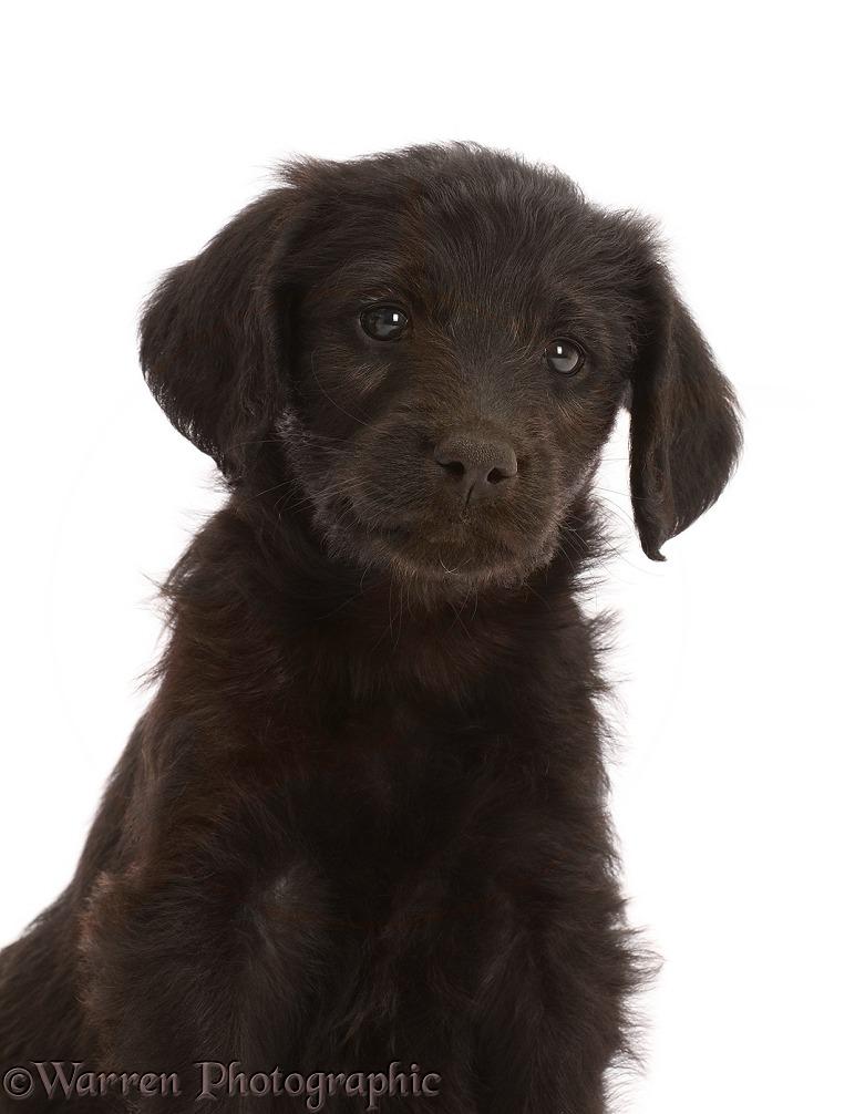Dog: Black Labradoodle puppy, portrait photo WP47793