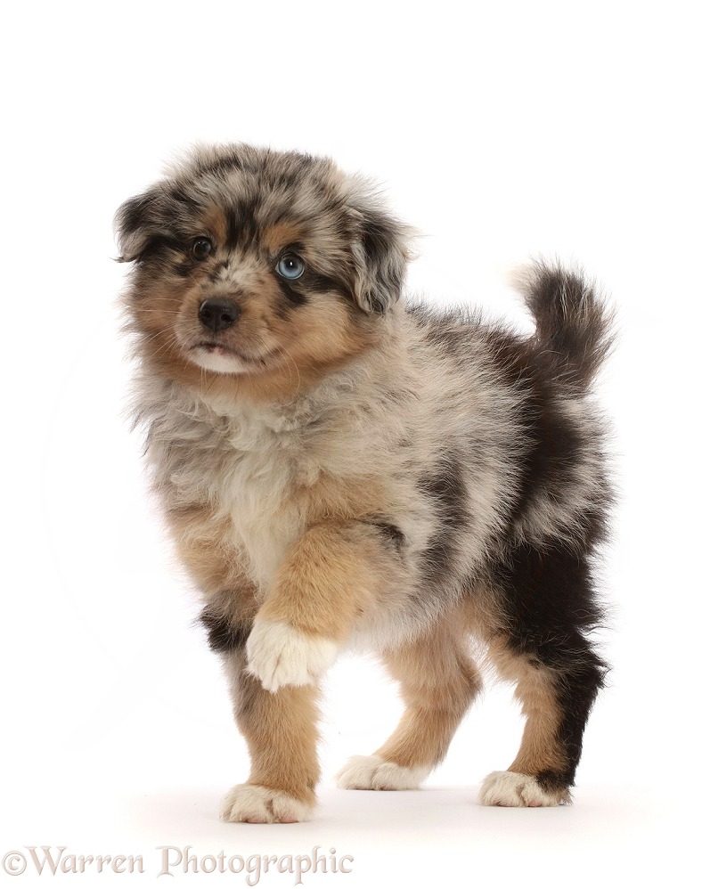 Mini American Shepherd puppy, 7 weeks old, standing with raised paw, white background