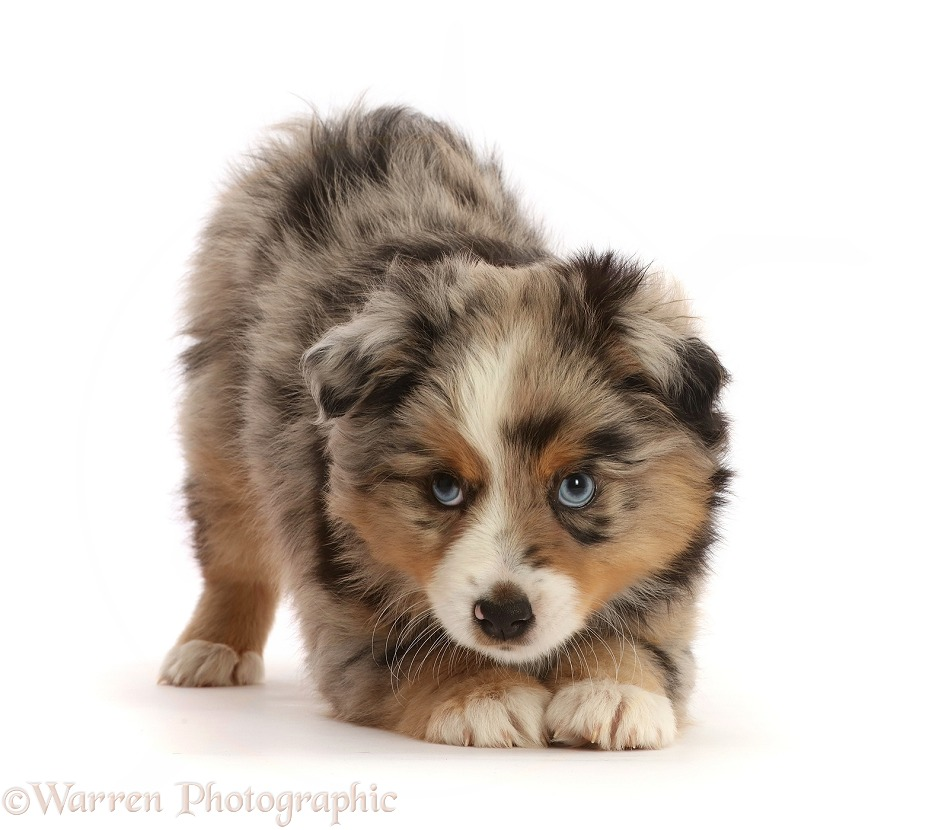 Mini American Shepherd puppy, 7 weeks old, in play-bow stance, white background