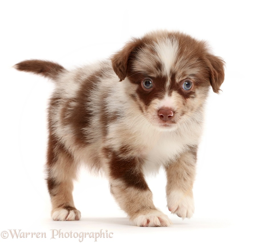 Red merle Miniature American Shepherd puppy, 5 weeks old, white background