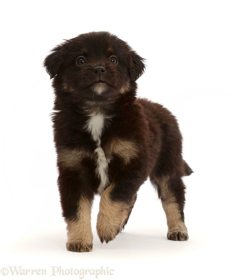 Mini American Shepherd puppy, 5 weeks old, white background