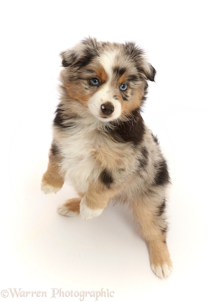 Mini American Shepherd puppy, 7 weeks old, jumping up, white background