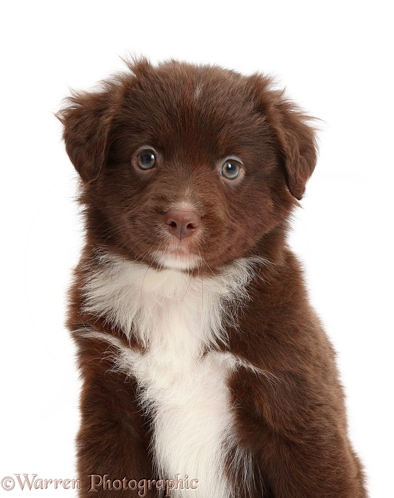 Chocolate-and-white Miniature American Shepherd puppy, 5 weeks old, white background