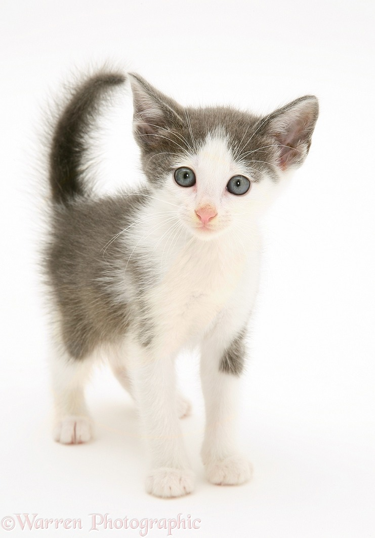 Grey-and-white kitten standing, white background