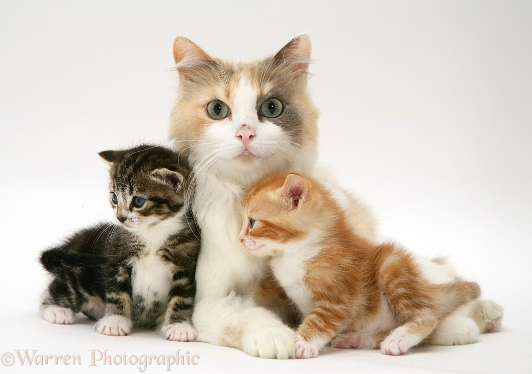 Mother cat and kittens, white background