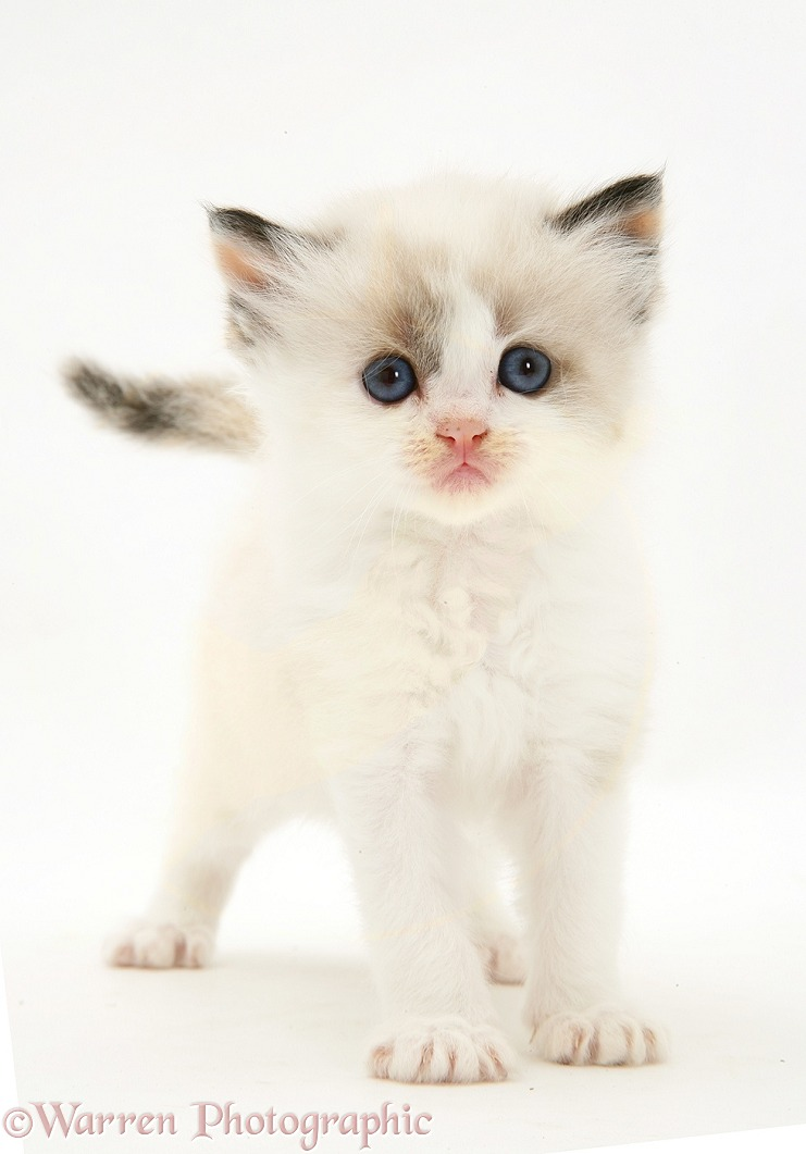 Birman-cross kitten, white background