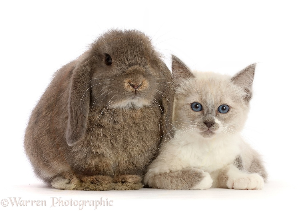 Ragdoll cross kitten, 8 weeks old, and grey lop bunny, white background