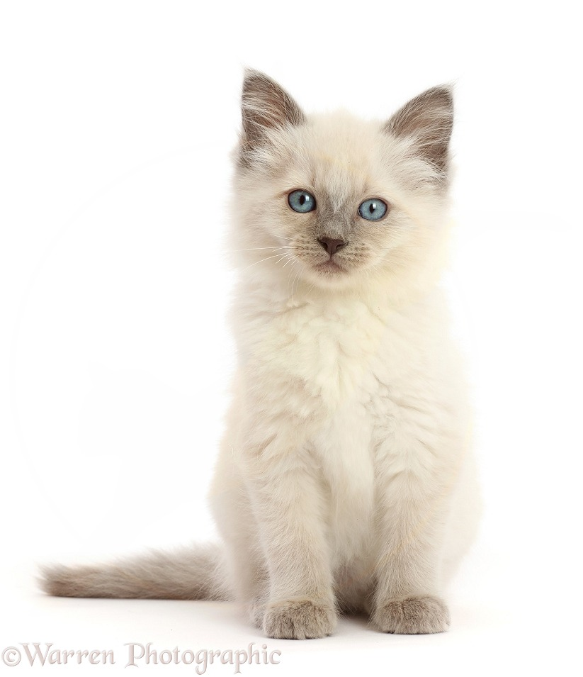 Ragdoll cross kitten, 8 weeks old, sitting, white background