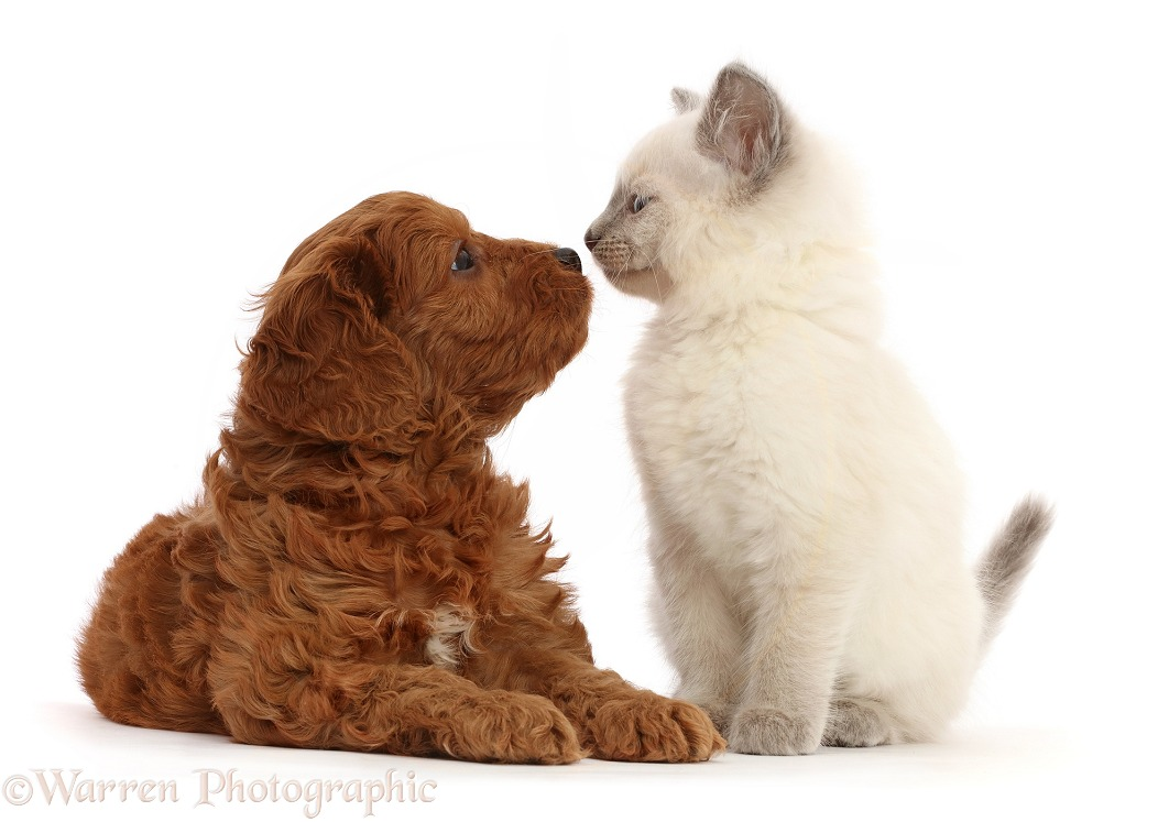 Red Cavapoo puppy, 7 weeks old, nose to nose with Ragdoll cross kitten, 8 weeks old, white background
